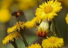 pszczoła, fot.Lucjan Duchnowicz