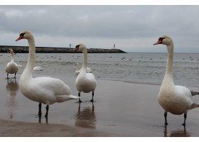 Łabędzie na usteckiej plaże, fot.M.Surma